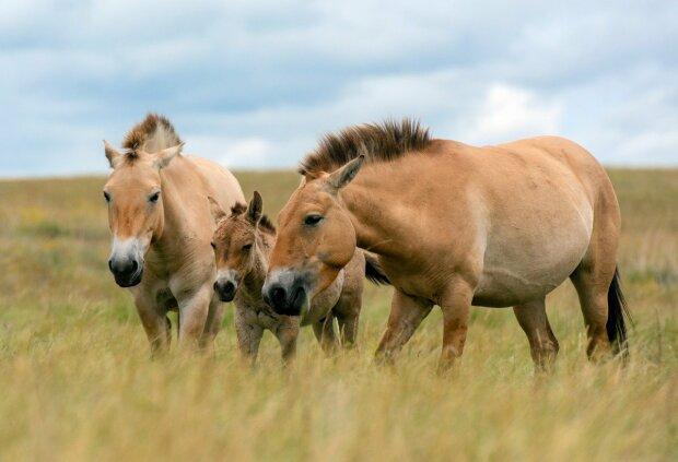 НБУ вводит новую монету с лошадью Пржевальского